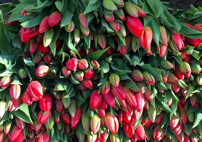 Tulpen_Saisonkalender